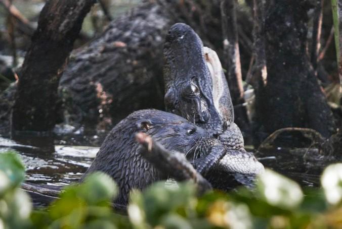 otter v alligator 1