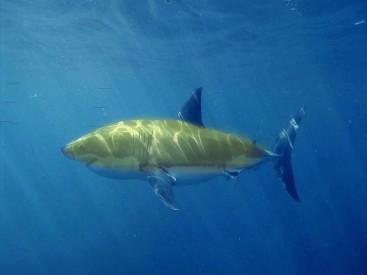 banana shark