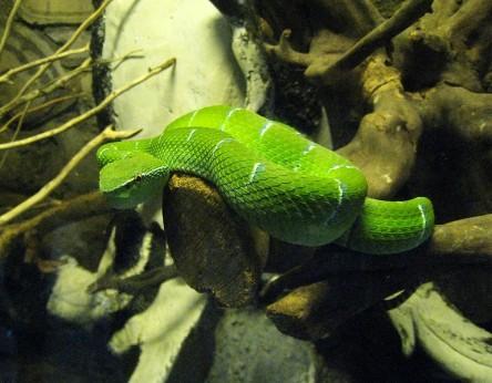 antiplatelet snake