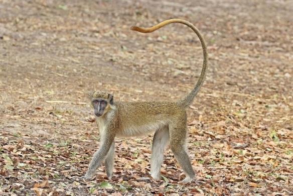 green_monkey