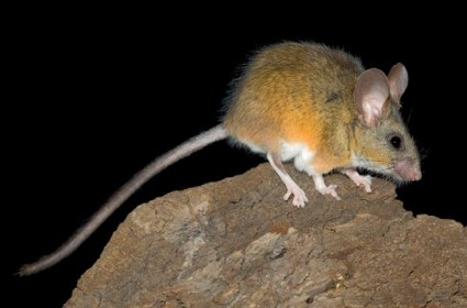 California mouse