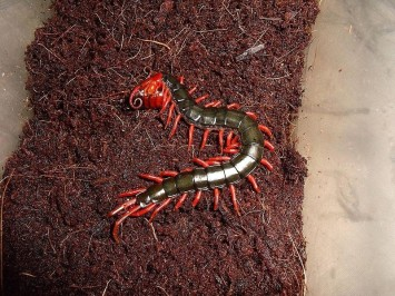 Chinese red-headed centipede
