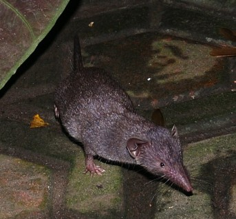 house shrew
