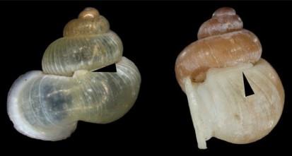 snail snorkels