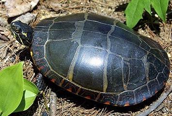 turtle BPA