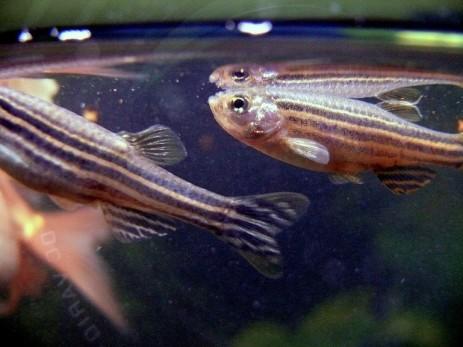 zebrafish carbon monoxide