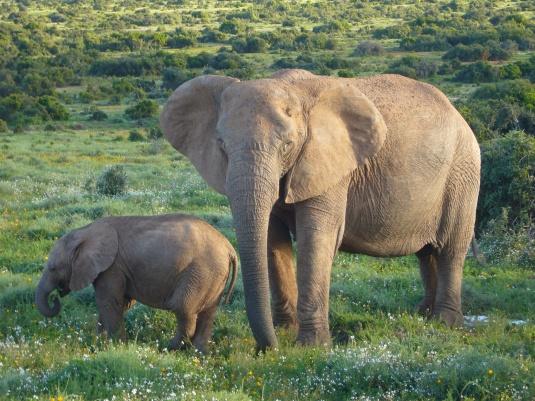 African_Bush_Elephants