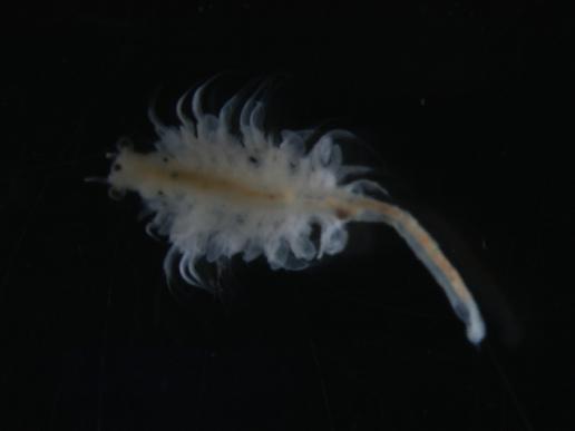 Artemia_franciscana