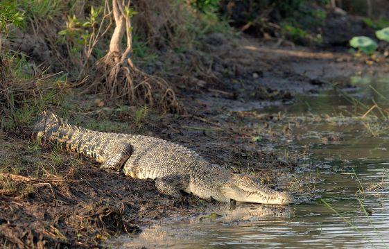 Saltwater_Crocodile_on_a_river_bank