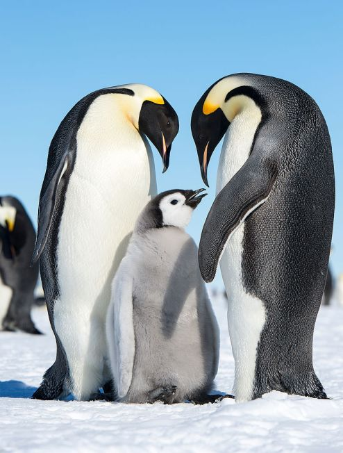 Emperor_Penguins_(15885611526)