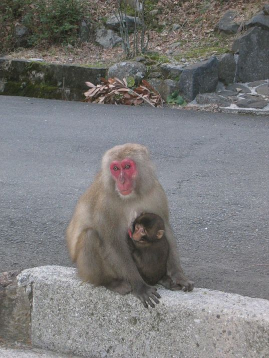 JapaneseMacaques