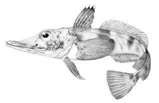 1200px-Chaenocephalus_aceratus