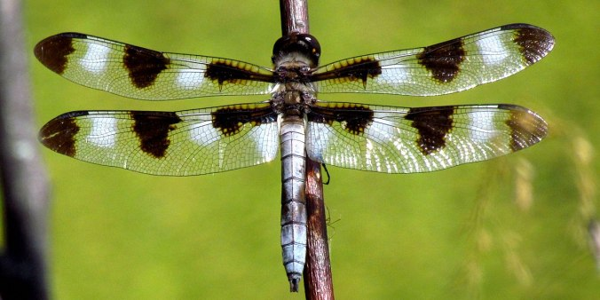 1200px-Twelve-spotted_Skimmer,_male