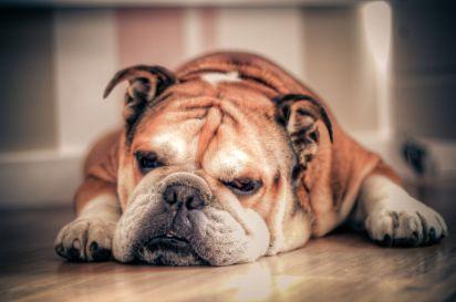1280px-English_Bulldog_about_to_sleep