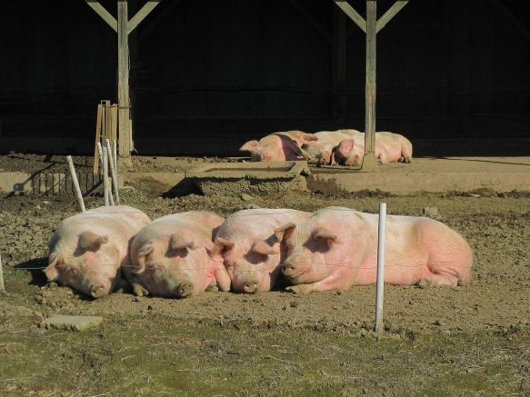 Saitama_Domestic_Pigs_In_Pasture_1