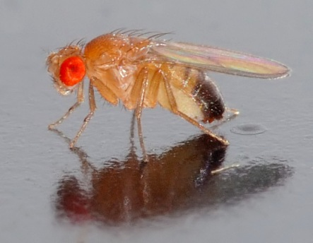 Drosophila_melanogaster_-_side_(aka)