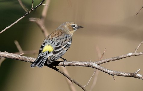 800px-Yellow-rumped_Warbler_(30101519035)