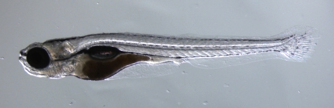 Zebrafish (21 days)