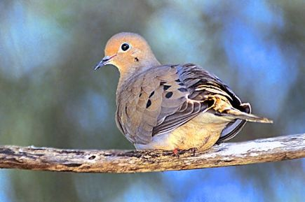 1280px-115_Mourning_Dove