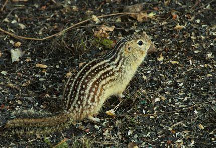 Thirteen-lined_ground_squirrel