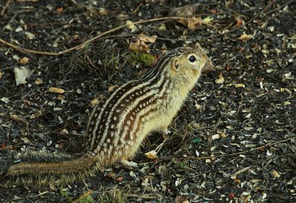 Thirteen-lined_ground_squirrel