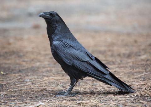 1200px-Corvus_corax_(Common_Raven),_Yosemite_NP,_CA,_US_-_Diliff.jpg