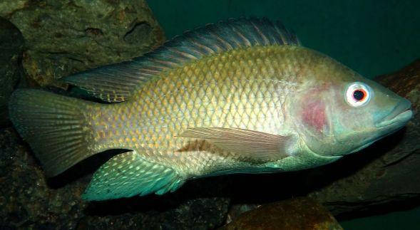 Oreochromis-niloticus-Nairobi