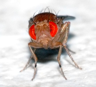 Drosophila_melanogaster_-_front_(aka)