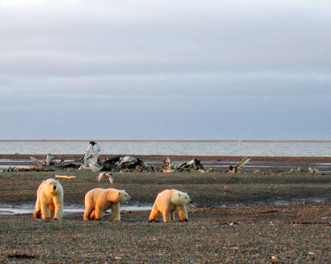 1024px-Polar_bears_on_the_Beaufort_Sea_coast