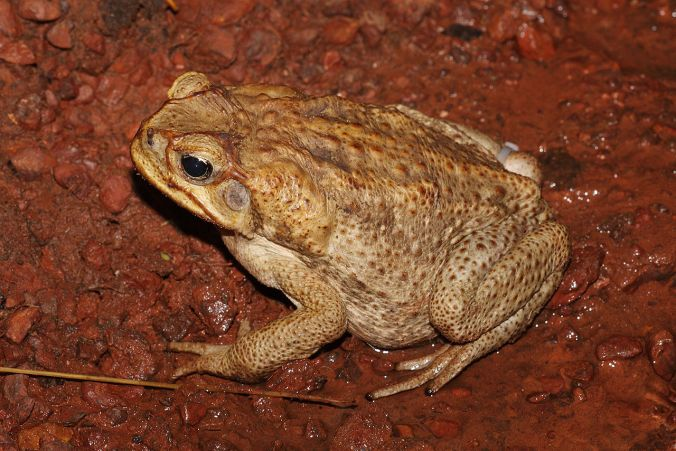 1280px-Canetoadfemale