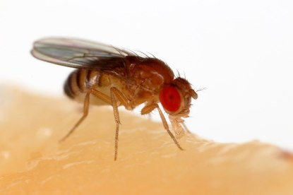 1280px-Drosophila_melanogaster_Proboscis