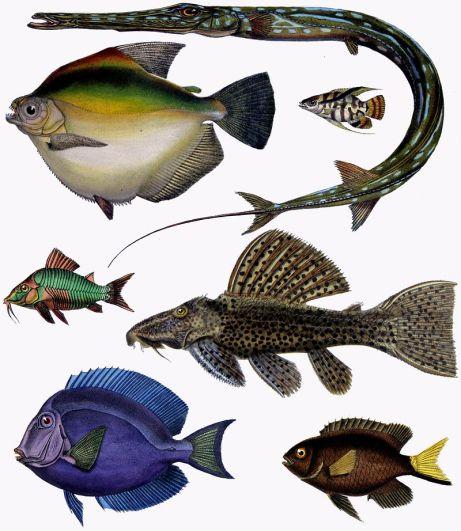 800px-F_de_Castelnau-poissons_-_Diversity_of_Fishes_(Composite_Image)