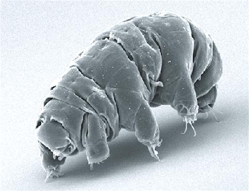 Active tardigrade